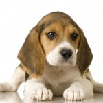 cachorro dog beagle