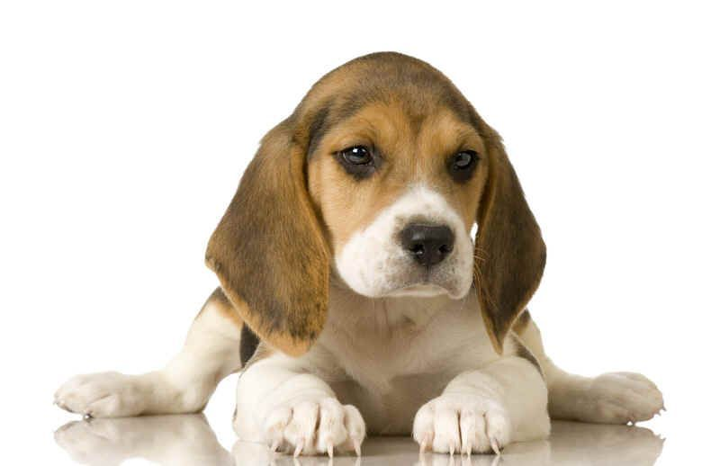 cachorro dog beagle